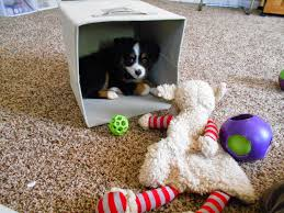 australian shepherd kinds raising a mini aussie best toys for mini and toy aussie puppies