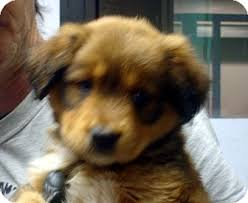 australian shepherd with german shepherd ewok adopted puppy 8465 greencastle nc german shepherd