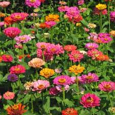 7 meanings of flowers beginning with z zinnias composting and ph