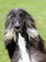 afghan hound of america the portrait of afghan hound stock photo picture and royalty free