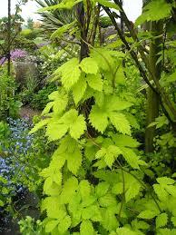 climbers u0026 wall shrubs garden and plant photos plantadvice co uk