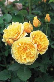 The Most Fragrant Plants - the most fragrant roses for your garden