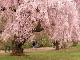 Trees With Pink Flowers Flowering Trees In Virginia A Guide For Spring