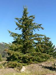 douglas fir tree britannica