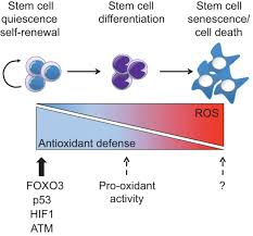 stem cells and the impact of ros signaling development