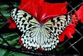 batu ferringhi malaysia butterfly nectar from hibiscus