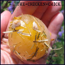 the chicken salpingitis u0026 lash eggs in backyard chickens