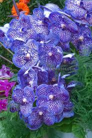 blue and purple flowers blue flowers plants stock photos images plant flower stock