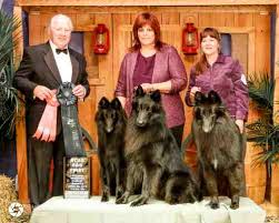 belgian sheepdog rescue ohio shetara u003d akc belgian sheepdog puppies and adults available