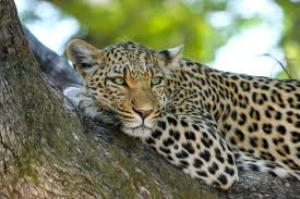 leopard on brown trunk tree free stock photo