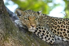Define Tree Leopard On Brown Trunk Tree Free Stock Photo
