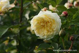Fragrant Climbing Plant - elegantly perfumed roses to plant this winter pumpkin beth
