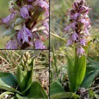 buxus sempervirens in vaso plantes 罌 floraison f罠vrier g罠nial v罠g罠tal