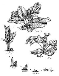 skunk coloring pages skunk cabbage symplocarpus foetidus