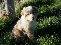 australian shepherd new hampshire puppies mountain wrangler aussies australian shepherd puppies