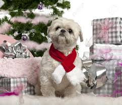shih tzu 2 years old sitting with christmas tree and gifts