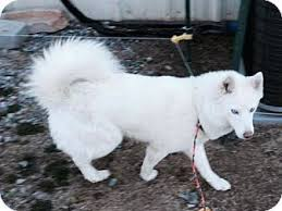 american eskimo dog breeders new england nanuk adopted dog boston ma american eskimo dog mix