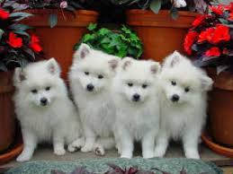 american eskimo dog odor bestdogs american eskimo puppies