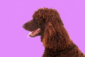 standard poodle hair styles what hairstyles can a standard poodle have dog care the daily