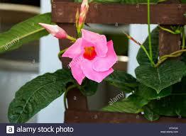 pink mandevilla stock photo royalty free image 135312978 alamy