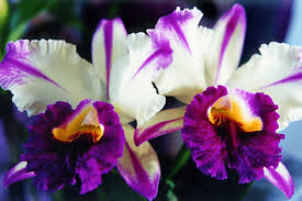 cattleya orchids cattleya orchid l breathtaking colors our breathing planet