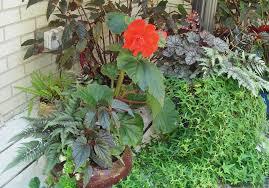 begonia gryphon forest garden