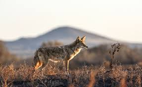Can Coyotes See Red Light Proven Tactics To Kill More Coyotes Petersen U0027s Hunting