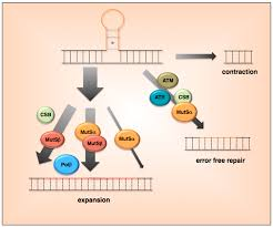 genes free full text ups and downs mechanisms of repeat