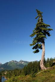 douglas fir tree douglas fir tree stock image image of lake conifer pine 2863963
