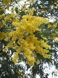 zylstra china1800 fruit bouquets acacia dealbata