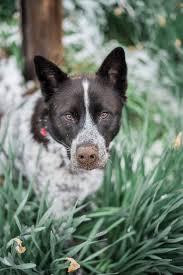 australian shepherd husky lab mix focus jesse the lab mix u0026 jake the husky aussie mix daily dog