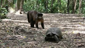 bbc earth monkey hits tortoise with stick then throws rock at it