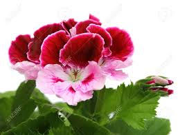 geranium stock photos u0026 pictures royalty free geranium images and
