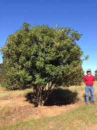 are you looking for a stand out tree the osmanthus fruitlandii