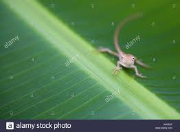 tiny banana tiny lizard on banana leaf india stock photo royalty free image