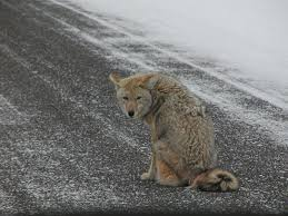 Can You Bury Animals In Your Backyard Observations Of Coyote Predation On Cats Lost Pet Research