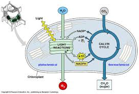 What Happens During The Light Dependent Reactions Of Photosynthesis Photosynthesis On Emaze