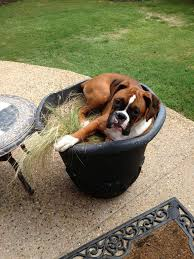 boxer dog meme top 25 best boxers ideas on pinterest boxer puppies boxer dogs