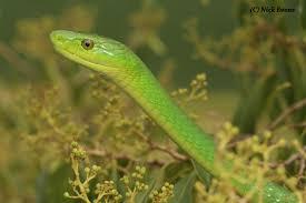snakes of durban a photographic guide u2013 kwazulu natal amphibian