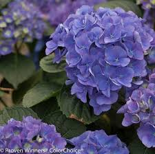 purple hydrangea cityline hydrangea plant addicts