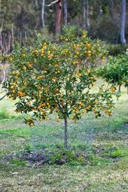 Good Backyard Trees by Growing Dragonfruit Traditional Trellising Site Has Good