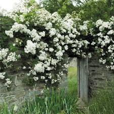 rambling rector rambling roses type
