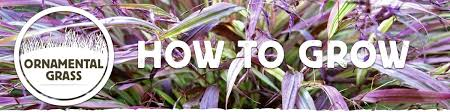 how to grow ornamental grass all the best grass in 2017