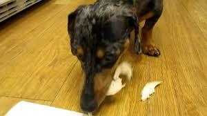 puppy thanksgiving roger the dachshund u0027s thanksgiving treat youtube