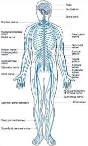 Picture Of Human Anatomy Body Frog And Human Anatomy Comparison Ms Pearrow U0027s 7th Grade Science