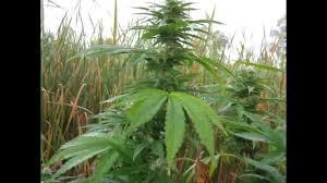Northern Lights Outdoor Grow Outdoor Marijuana Grow 2011 Season