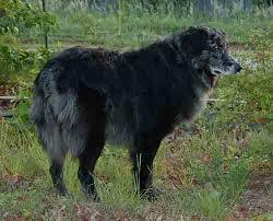 australian shepherd hair slash v blackfoot australian shepherd pedigree