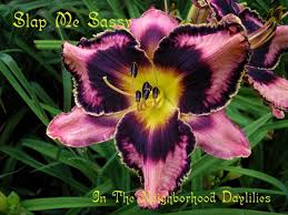 Reblooming Daylilies Daylily Slap Me Sassy T Petit 2004 Daylily Lavender Rose W U0027 Black