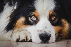 pictures of australian shepherds grooming asca