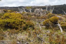 native tasmanian plants tasmania lots of flora and a fauna site u0026 insight